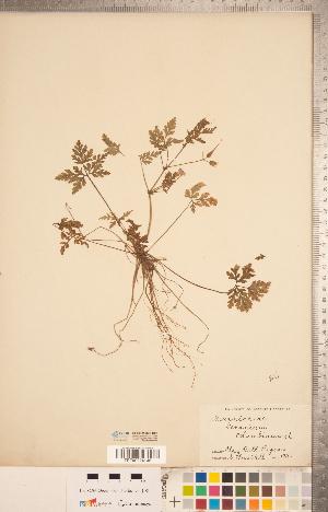 (Geranium columbinum - CCDB-20332-H04)  @11 [ ] Copyright (2015) Deb Metsger Royal Ontario Museum