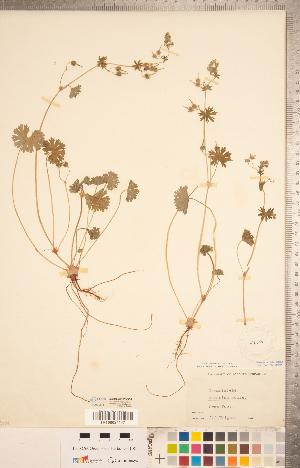 (Geranium molle - CCDB-20332-G04)  @11 [ ] Copyright (2015) Deb Metsger Royal Ontario Museum