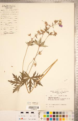 (Geranium pratense - CCDB-20332-D04)  @11 [ ] Copyright (2015) Deb Metsger Royal Ontario Museum