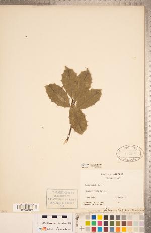 (Aquifoliaceae - CCDB-20332-C08)  @11 [ ] Copyright (2015) Deb Metsger Royal Ontario Museum