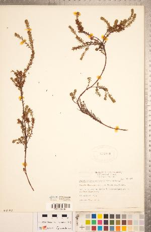 (Empetrum atropurpureum - CCDB-20332-F10)  @11 [ ] Copyright (2015) Deb Metsger Royal Ontario Museum