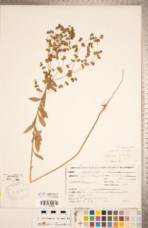 (Euphorbia platyphyllos - CCDB-20332-H12)  @11 [ ] Copyright (2015) Deb Metsger Royal Ontario Museum