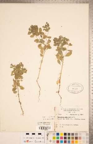 (Euphorbia peplus - CCDB-20332-G12)  @11 [ ] Copyright (2015) Deb Metsger Royal Ontario Museum