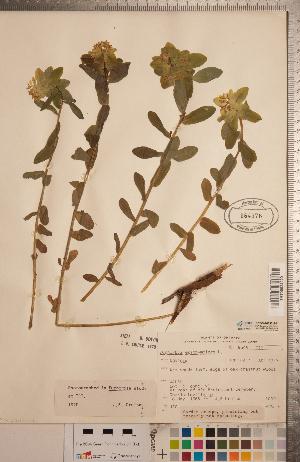 (Euphorbia epithymoides - CCDB-20333-E01)  @11 [ ] Copyright (2015) Deb Metsger Royal Ontario Museum