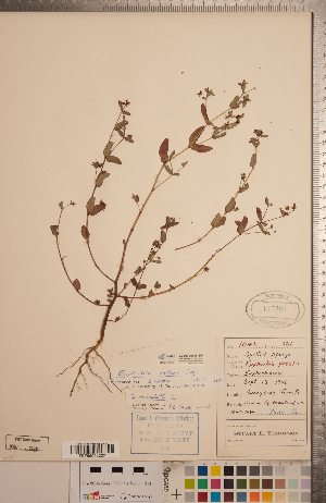 (Euphorbia nutans - CCDB-20333-E02)  @11 [ ] Copyright (2015) Deb Metsger Royal Ontario Museum
