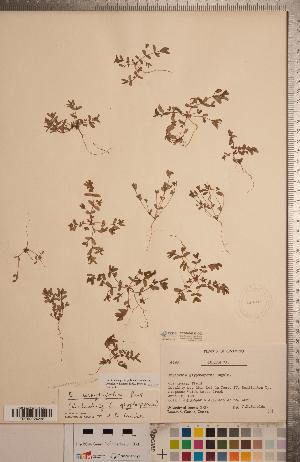(Euphorbia serpyllifolia - CCDB-20333-D02)  @11 [ ] Copyright (2015) Deb Metsger Royal Ontario Museum