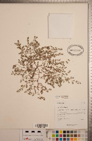 (Euphorbia exigua - CCDB-20333-C02)  @11 [ ] Copyright (2015) Deb Metsger Royal Ontario Museum