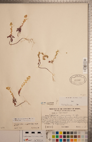 (Euphorbia commutata - CCDB-20333-B02)  @11 [ ] Copyright (2015) Deb Metsger Royal Ontario Museum