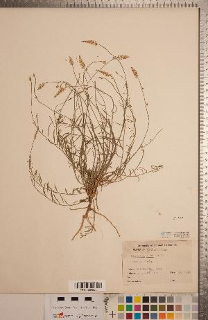 (Polygala alba - CCDB-20333-D03)  @11 [ ] Copyright (2015) Deb Metsger Royal Ontario Museum