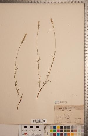 (Polygala alba - CCDB-20333-C03)  @11 [ ] Copyright (2015) Deb Metsger Royal Ontario Museum