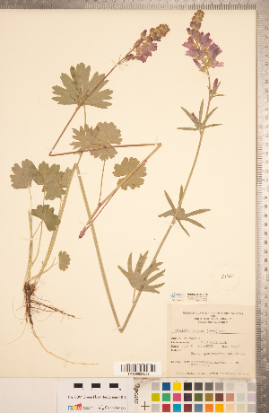 (Sidalcea - CCDB-20333-C06)  @11 [ ] Copyright (2015) Deb Metsger Royal Ontario Museum