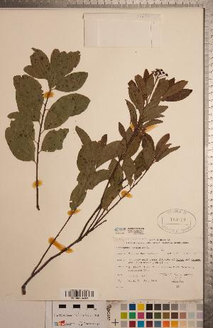 (Ceanothus herbaceus - CCDB-20333-H08)  @11 [ ] Copyright (2015) Deb Metsger Royal Ontario Museum
