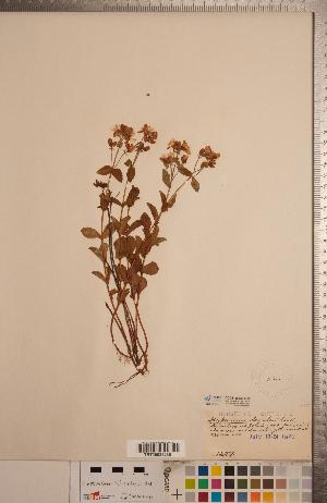 (Hypericum scouleri - CCDB-20333-G10)  @11 [ ] Copyright (2015) Deb Metsger Royal Ontario Museum