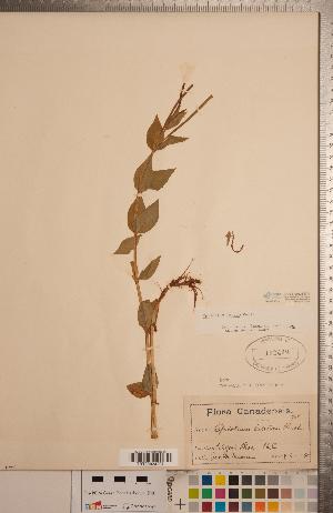 (Epilobium luteum - CCDB-20333-D11)  @11 [ ] Copyright (2015) Deb Metsger Royal Ontario Museum