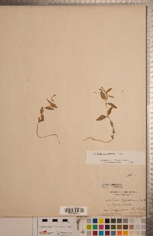 (Epilobium leptocarpum - CCDB-20333-C11)  @11 [ ] Copyright (2015) Deb Metsger Royal Ontario Museum
