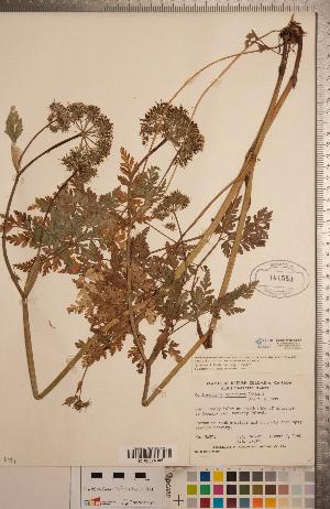(Conioselinum - CCDB-20333-E12)  @11 [ ] Copyright (2015) Deb Metsger Royal Ontario Museum