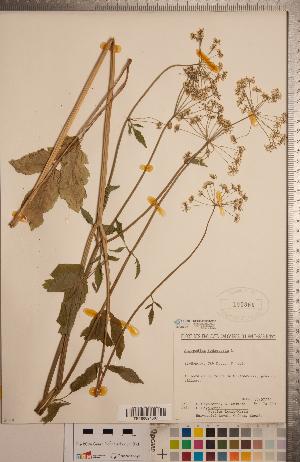 (Aegopodium - CCDB-20333-C12)  @11 [ ] Copyright (2015) Deb Metsger Royal Ontario Museum