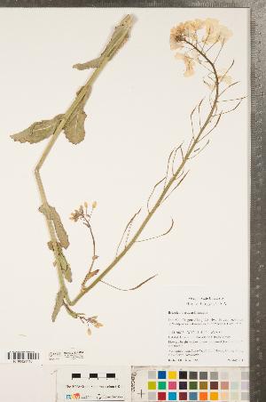 (Brassica oleracea - CCDB-23324-H04)  @11 [ ] Copyright (2015) Deb Metsger Royal Ontario Museum
