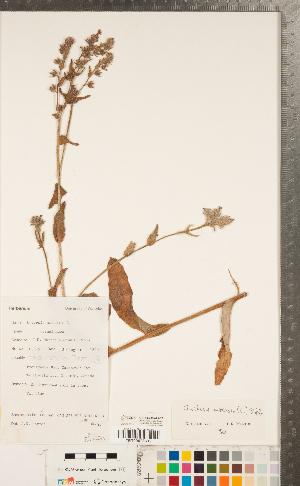 (Anchusa arvensis - CCDB-23324-A07)  @11 [ ] Copyright (2015) Deb Metsger Royal Ontario Museum