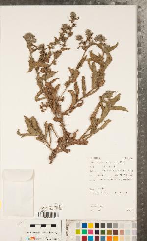 (Anchusa arvensis - CCDB-23324-H07)  @11 [ ] Copyright (2015) Deb Metsger Royal Ontario Museum