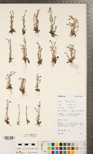 (Myosotis stricta - CCDB-23324-A11)  @11 [ ] Copyright (2015) Deb Metsger Royal Ontario Museum