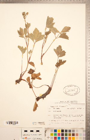 (Ligusticum - CCDB-20334-F01)  @11 [ ] Copyright (2015) Deb Metsger Royal Ontario Museum