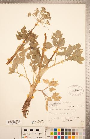 (Ligusticum - CCDB-20334-E01)  @11 [ ] Copyright (2015) Deb Metsger Royal Ontario Museum