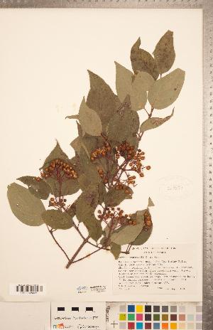 (Cornus drummondii - CCDB-20334-H03)  @11 [ ] Copyright (2015) Deb Metsger Royal Ontario Museum