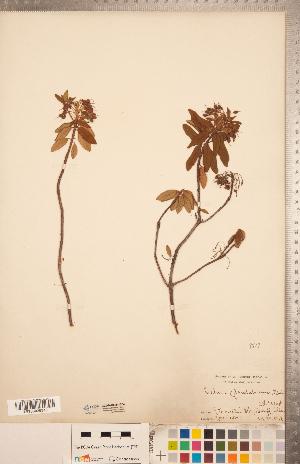 (Rhododendron neoglandulosum - CCDB-20334-G04)  @11 [ ] Copyright (2015) Deb Metsger Royal Ontario Museum