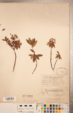 (Rhododendron neoglandulosum - CCDB-20334-D04)  @11 [ ] Copyright (2015) Deb Metsger Royal Ontario Museum
