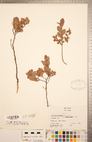 (Gaylussacia bigeloviana - CCDB-20334-H05)  @11 [ ] Copyright (2015) Deb Metsger Royal Ontario Museum