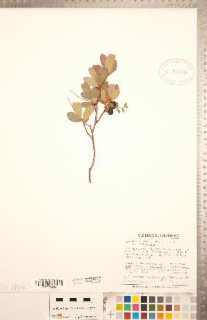 (Gaylussacia bigeloviana - CCDB-20334-E05)  @11 [ ] Copyright (2015) Deb Metsger Royal Ontario Museum