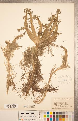 (Hottonia - CCDB-20334-C07)  @11 [ ] Copyright (2015) Deb Metsger Royal Ontario Museum