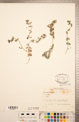 (Lysimachioideae - CCDB-20334-D08)  @11 [ ] Copyright (2015) Deb Metsger Royal Ontario Museum