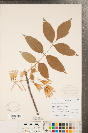(Fraxinus pennsylvanica - CCDB-20334-H10)  @11 [ ] Copyright (2015) Deb Metsger Royal Ontario Museum