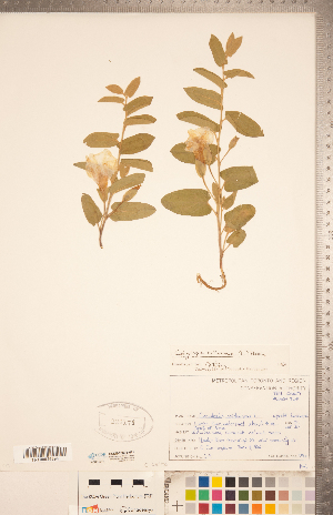 (Calystegia spithamaea - CCDB-20334-H11)  @11 [ ] Copyright (2015) Deb Metsger Royal Ontario Museum