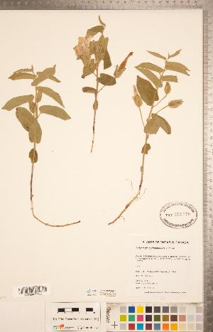 (Calystegia spithamaea - CCDB-20334-G11)  @11 [ ] Copyright (2015) Deb Metsger Royal Ontario Museum