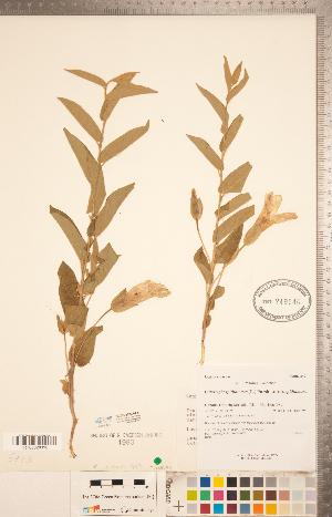 (Calystegia spithamaea subsp. spithamaea - CCDB-20334-F11)  @11 [ ] Copyright (2015) Deb Metsger Royal Ontario Museum