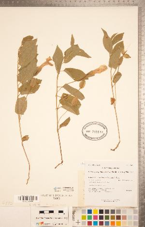 (Calystegia spithamaea subsp. spithamaea - CCDB-20334-D11)  @11 [ ] Copyright (2015) Deb Metsger Royal Ontario Museum