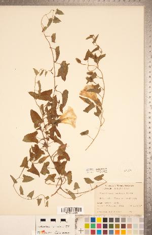 (Calystegia - CCDB-20334-C11)  @11 [ ] Copyright (2015) Deb Metsger Royal Ontario Museum