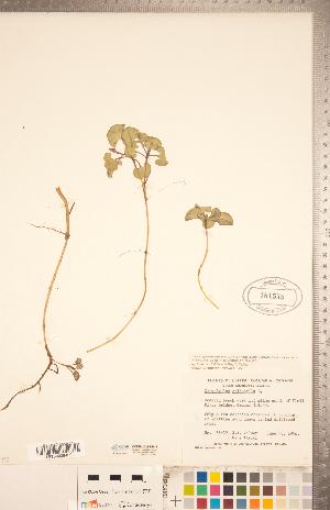 (Calystegia soldanella - CCDB-20334-B11)  @11 [ ] Copyright (2015) Deb Metsger Royal Ontario Museum