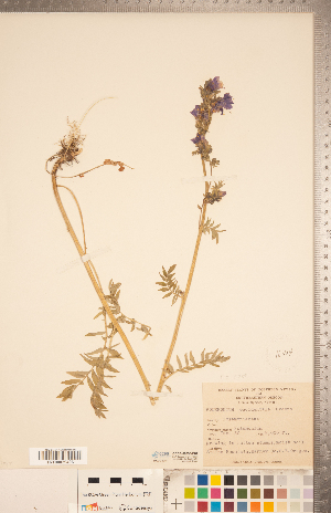 (Polemonium occidentale - CCDB-20335-B01)  @11 [ ] Copyright (2015) Deb Metsger Royal Ontario Museum