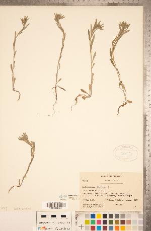 (Buglossoides - CCDB-20335-H03)  @11 [ ] Copyright (2015) Deb Metsger Royal Ontario Museum