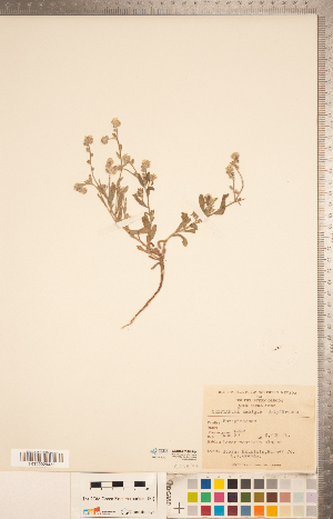 (Cryptantha ambigua - CCDB-20335-F04)  @11 [ ] Copyright (2015) Deb Metsger Royal Ontario Museum