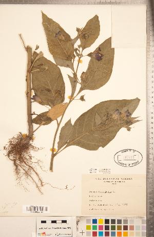 (Atropa belladonna - CCDB-20336-H11)  @11 [ ] Copyright (2015) Deb Metsger Royal Ontario Museum
