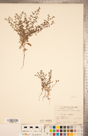 (Lappula - CCDB-20335-D05)  @11 [ ] Copyright (2015) Deb Metsger Royal Ontario Museum