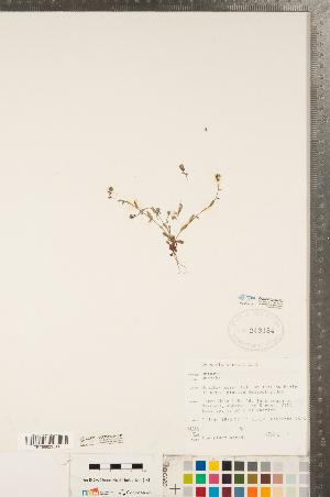 (Myosotis stricta - CCDB-20335-H07)  @11 [ ] Copyright (2015) Deb Metsger Royal Ontario Museum
