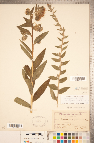 (Lithospermum parviflorum - CCDB-20335-H08)  @11 [ ] Copyright (2015) Deb Metsger Royal Ontario Museum