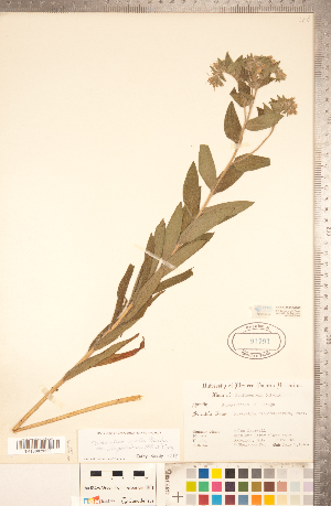 (Lithospermum parviflorum - CCDB-20335-G08)  @11 [ ] Copyright (2015) Deb Metsger Royal Ontario Museum