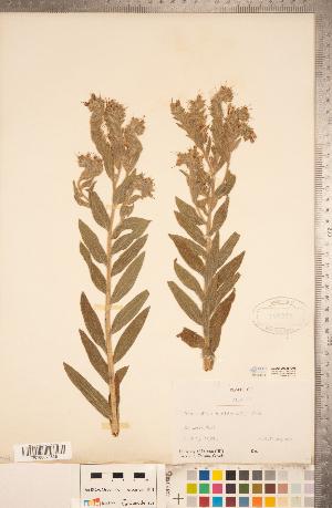 (Lithospermum parviflorum - CCDB-20335-E08)  @11 [ ] Copyright (2015) Deb Metsger Royal Ontario Museum